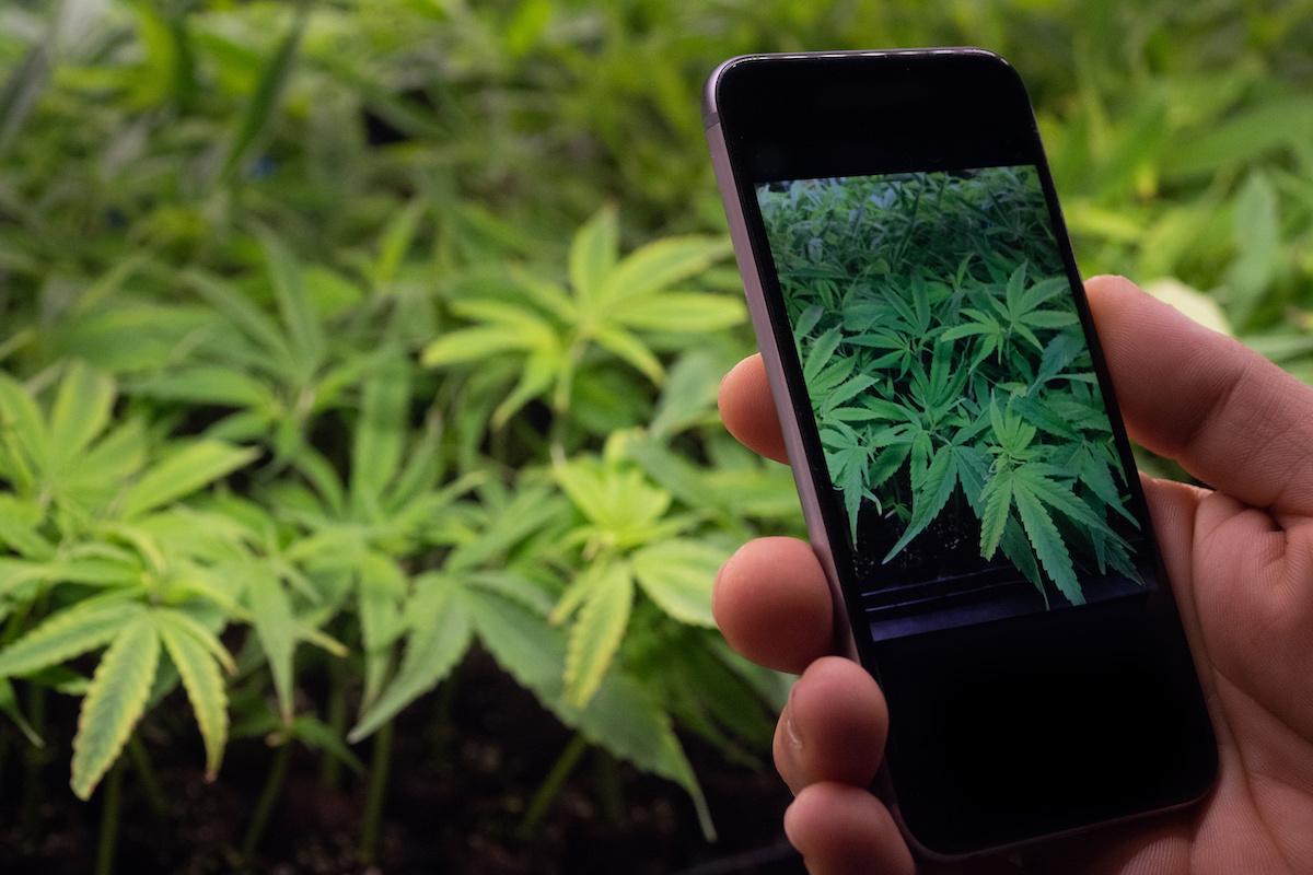 cannabis plant on phone