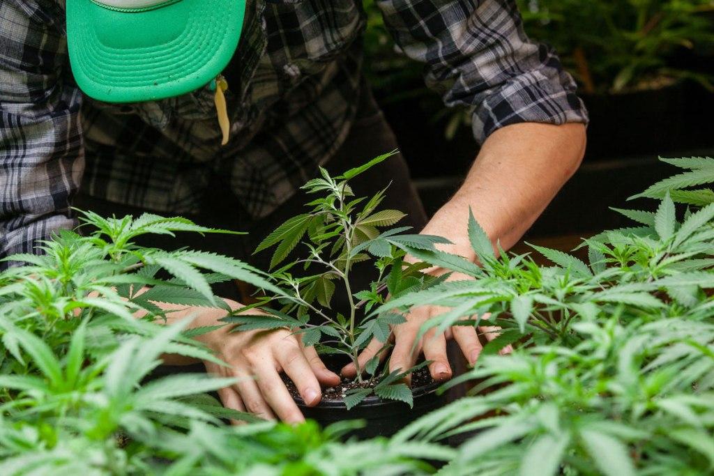 cannabis grower vangst