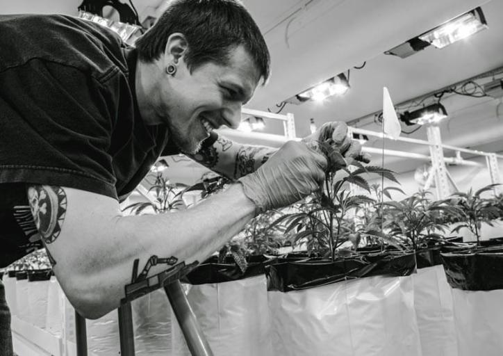 cannabis plant cultivation work