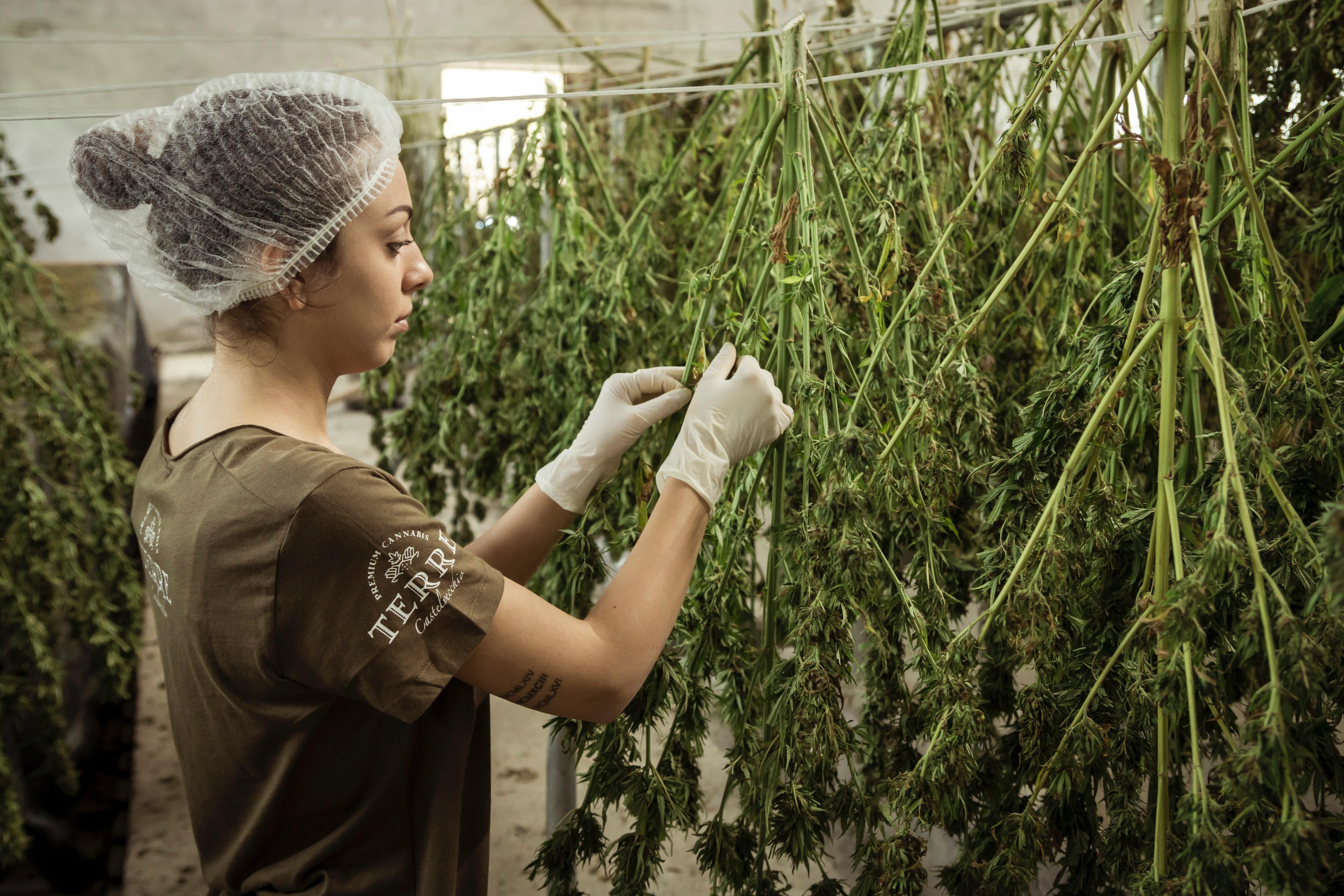 woman-working-cannabis